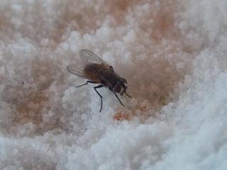 Fly in Sugar